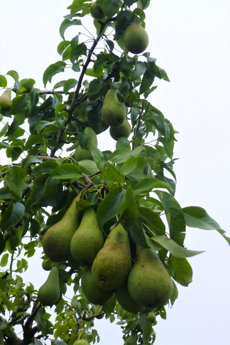 2. Conference Pear.