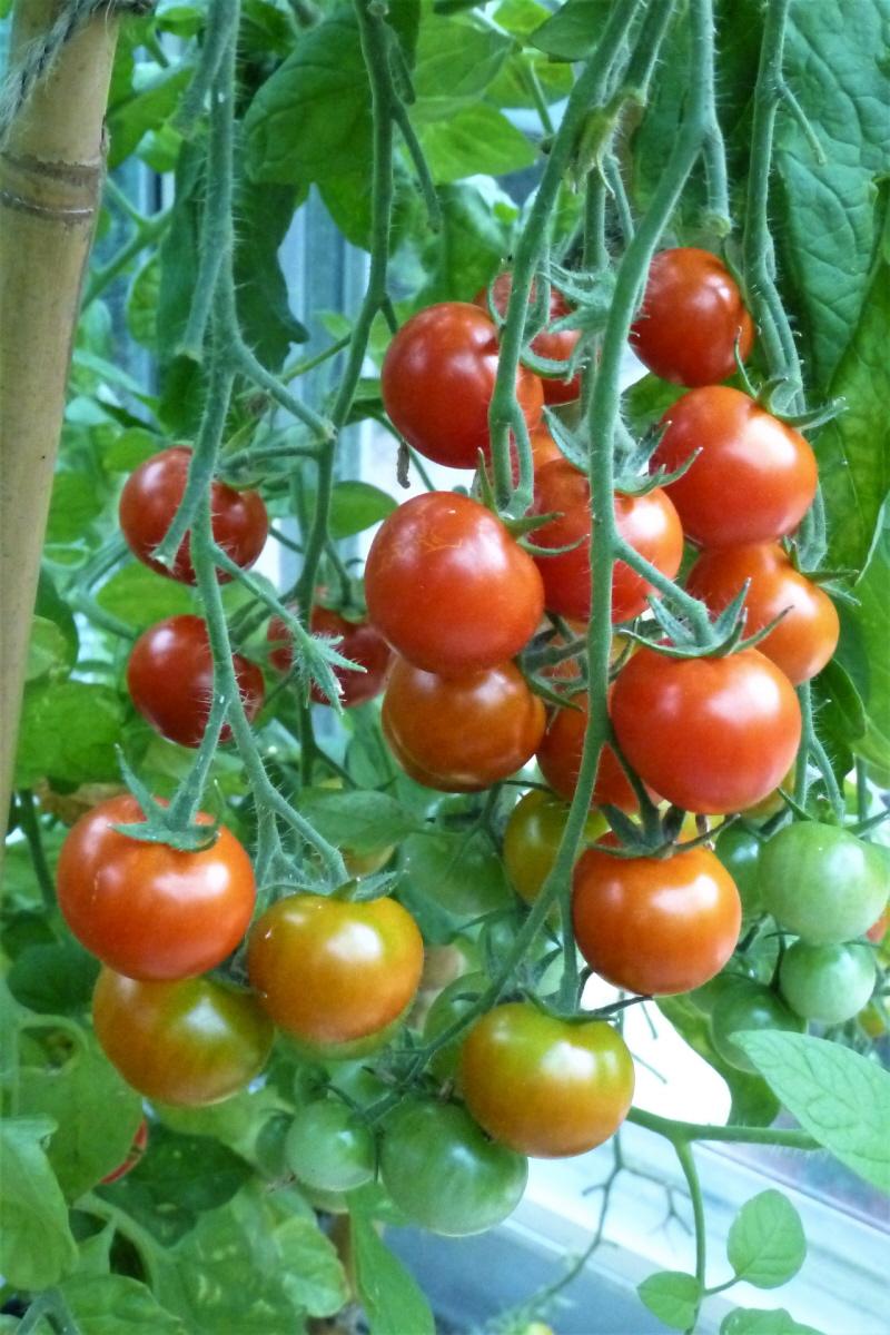 4. Gardener's Delight Tomato.