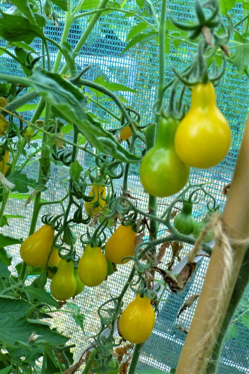 5. Yellow Pear Tomato.