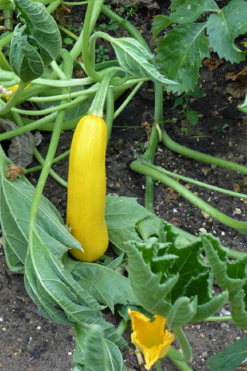 7. Climbing Courgette.