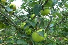 1.Bramley Apple.