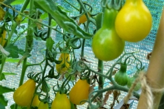 5. Yellow Pear Tomato.