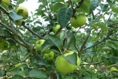 1.Bramley Apple.
